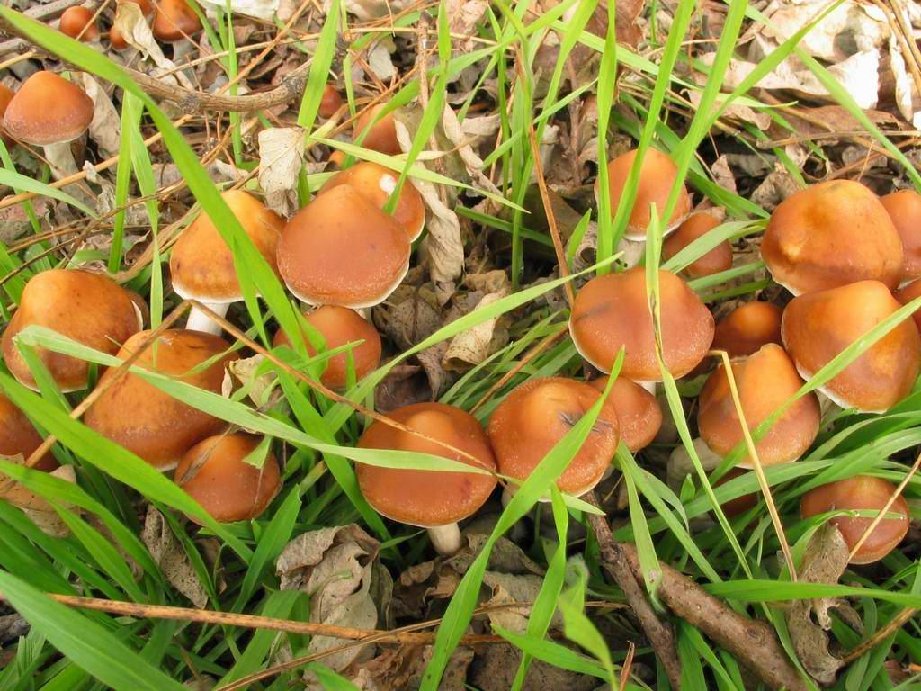 the hawks eye mushroom spores shrooms potent mushrooms azurescen