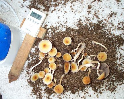 Cambodia Cubensis Mushroom Spores