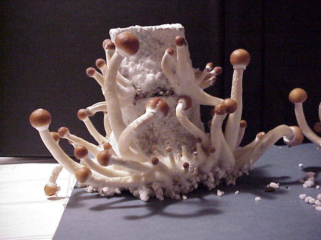 B+ Mushroom Spores